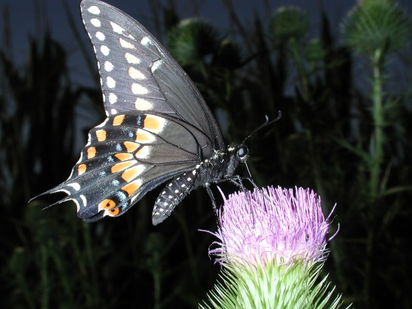 Black Swallowtail pic by Thomas Peace c. 2012