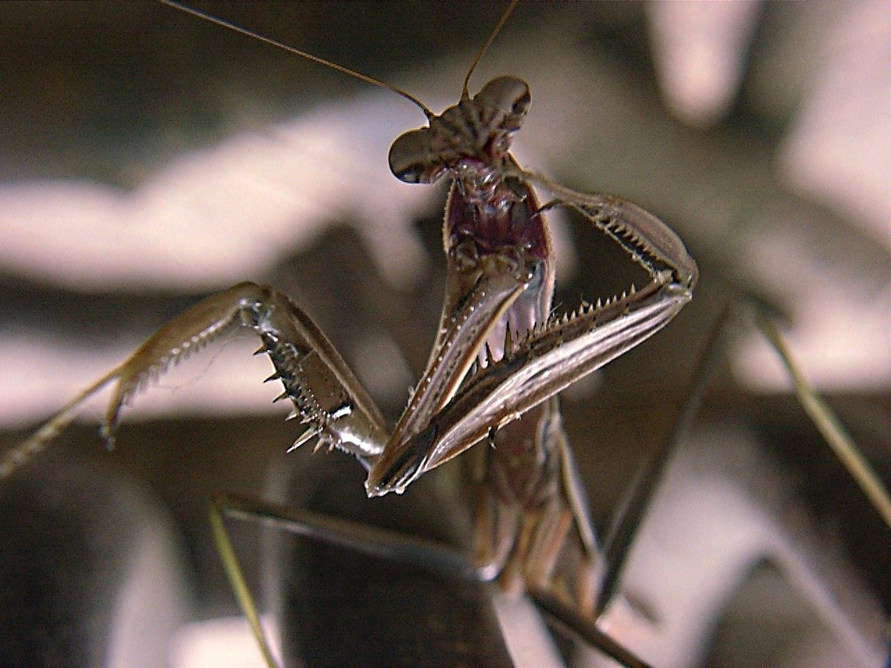 Mantis (4) by Thomas Peace 2013