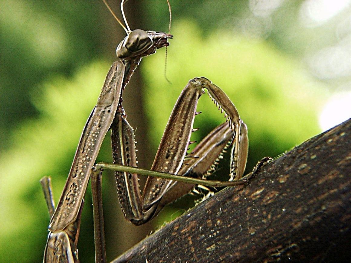 Mantis (3) by Thomas Peace 2013