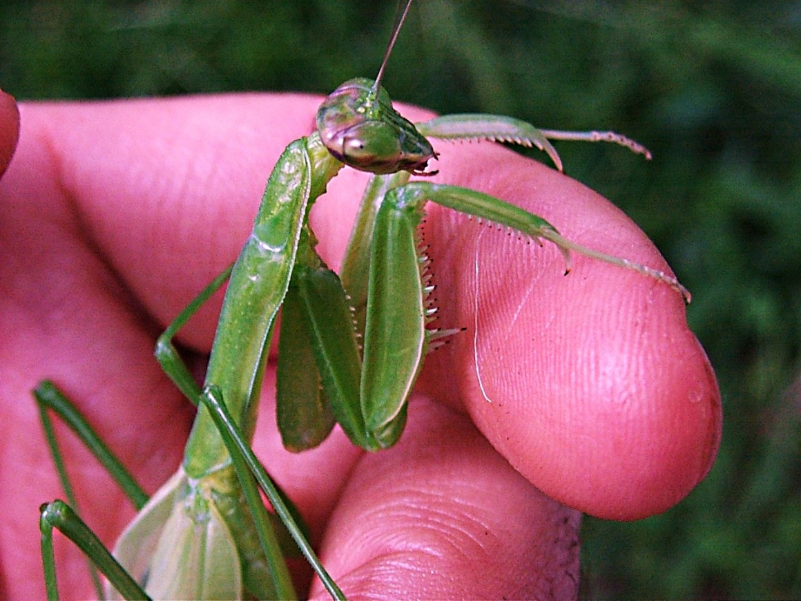 Mantis (1)... hanging out with Tom...by Thomas Peace 2013