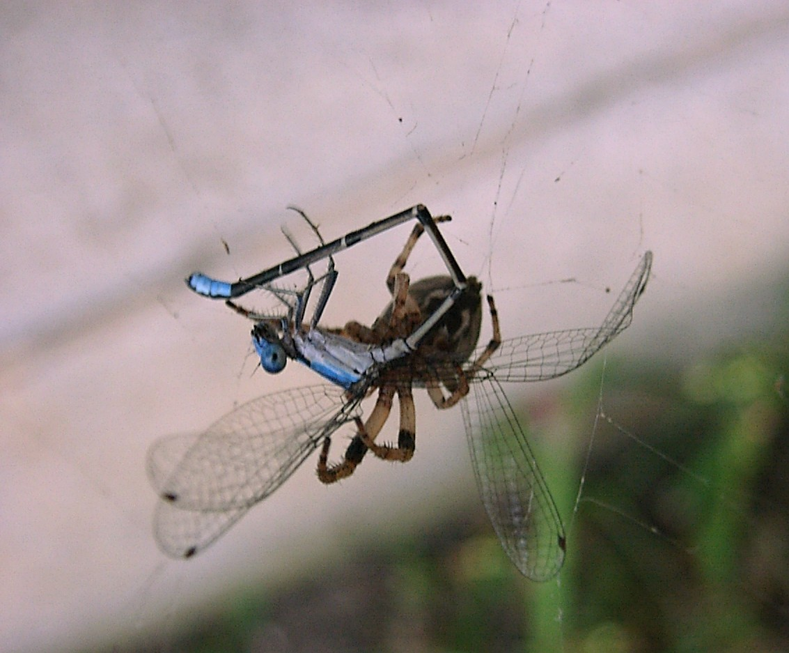 Spider & Damsel fly by Thomas Peace c. 2013