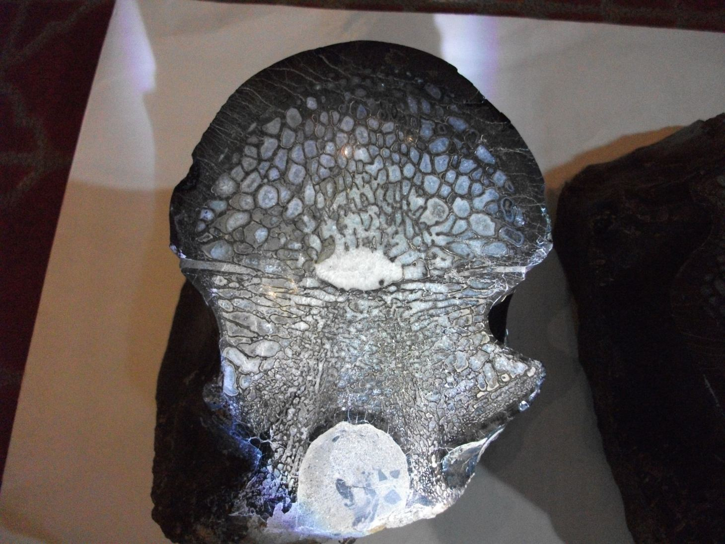 Allosaurus Vertebra (1) by Thomas Peace c. 2013