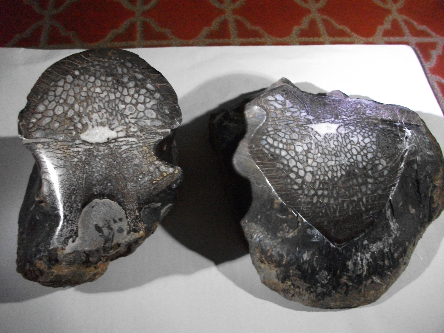 Allosaurus Dinosaur Split Vertebra by Thomas Peace c.2013