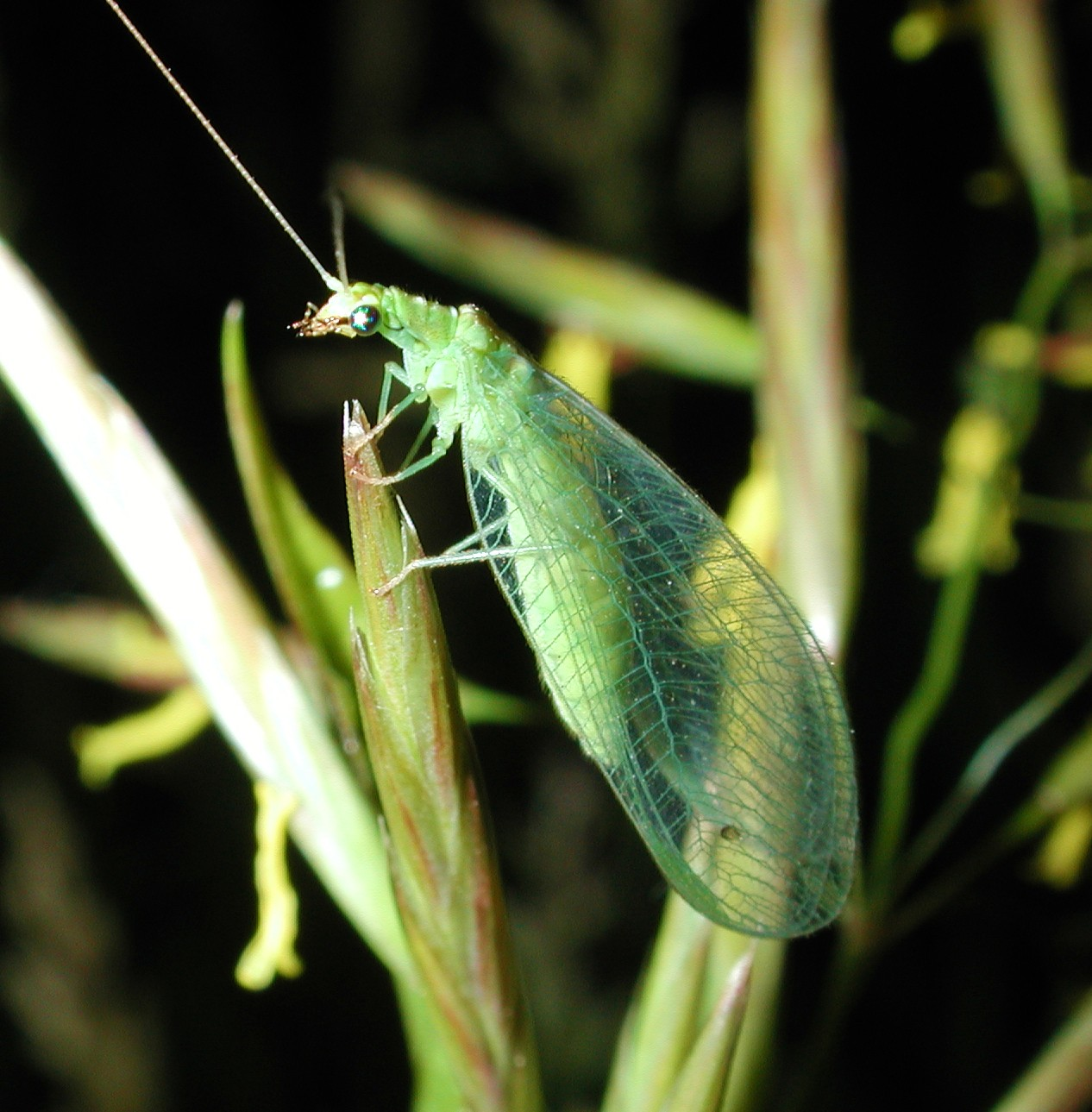 Lacewing by Thomas Peace 2013