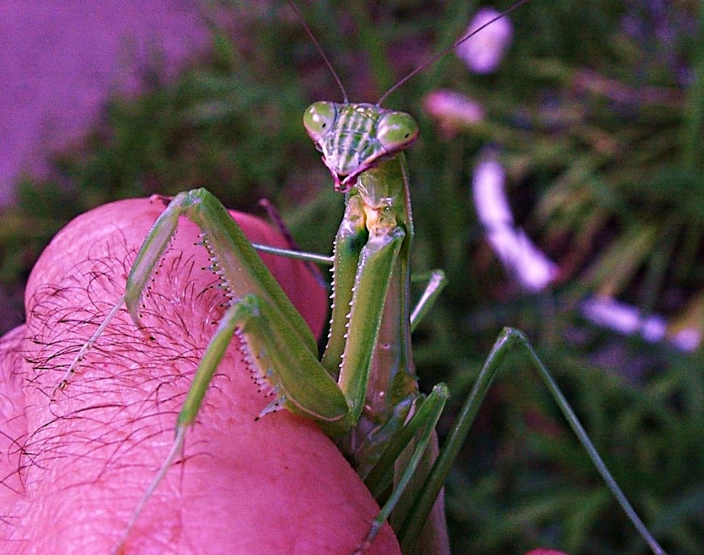 Mantis (2)... hanging out with Tom... by Thomas Peace  2013