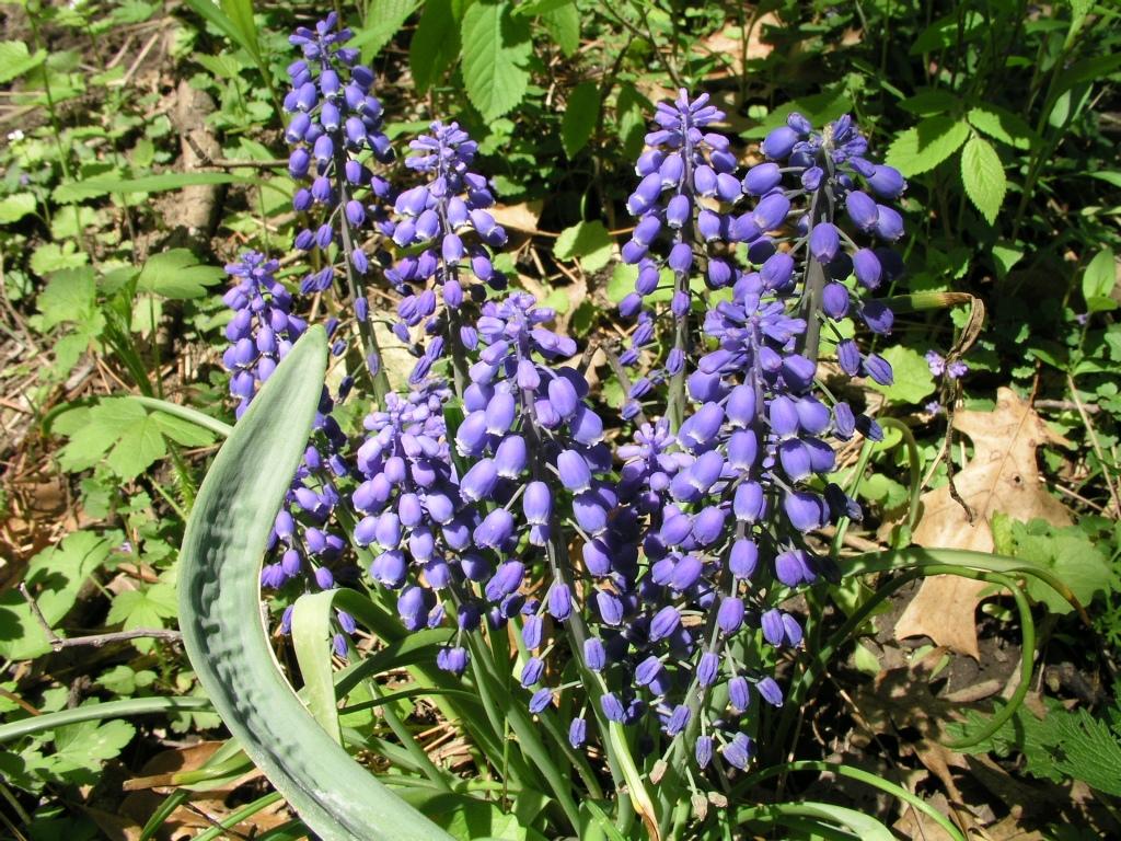 Grape Hyacinths by Thomas Peace 2013