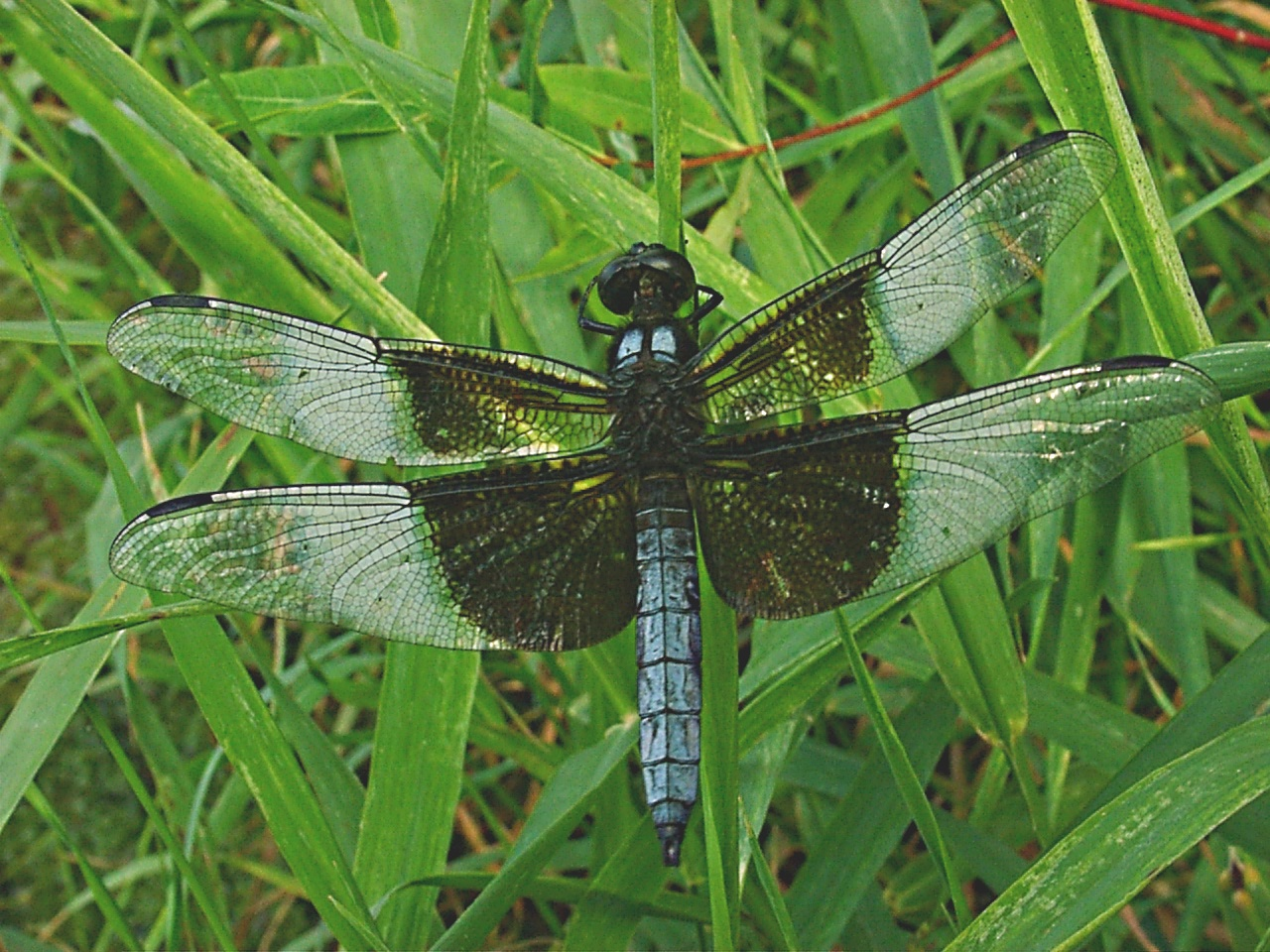 Resting Dragonfly (1) by Thomas Peace 2013
