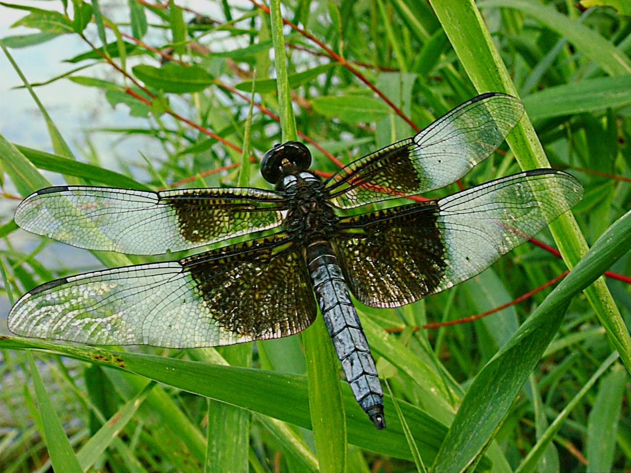 Resting Dragonfly (2) by Thomas Peace 2013