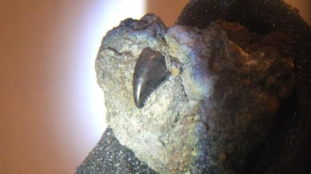 Large Troodon tooth in Matrix by Thomas Peace 2013