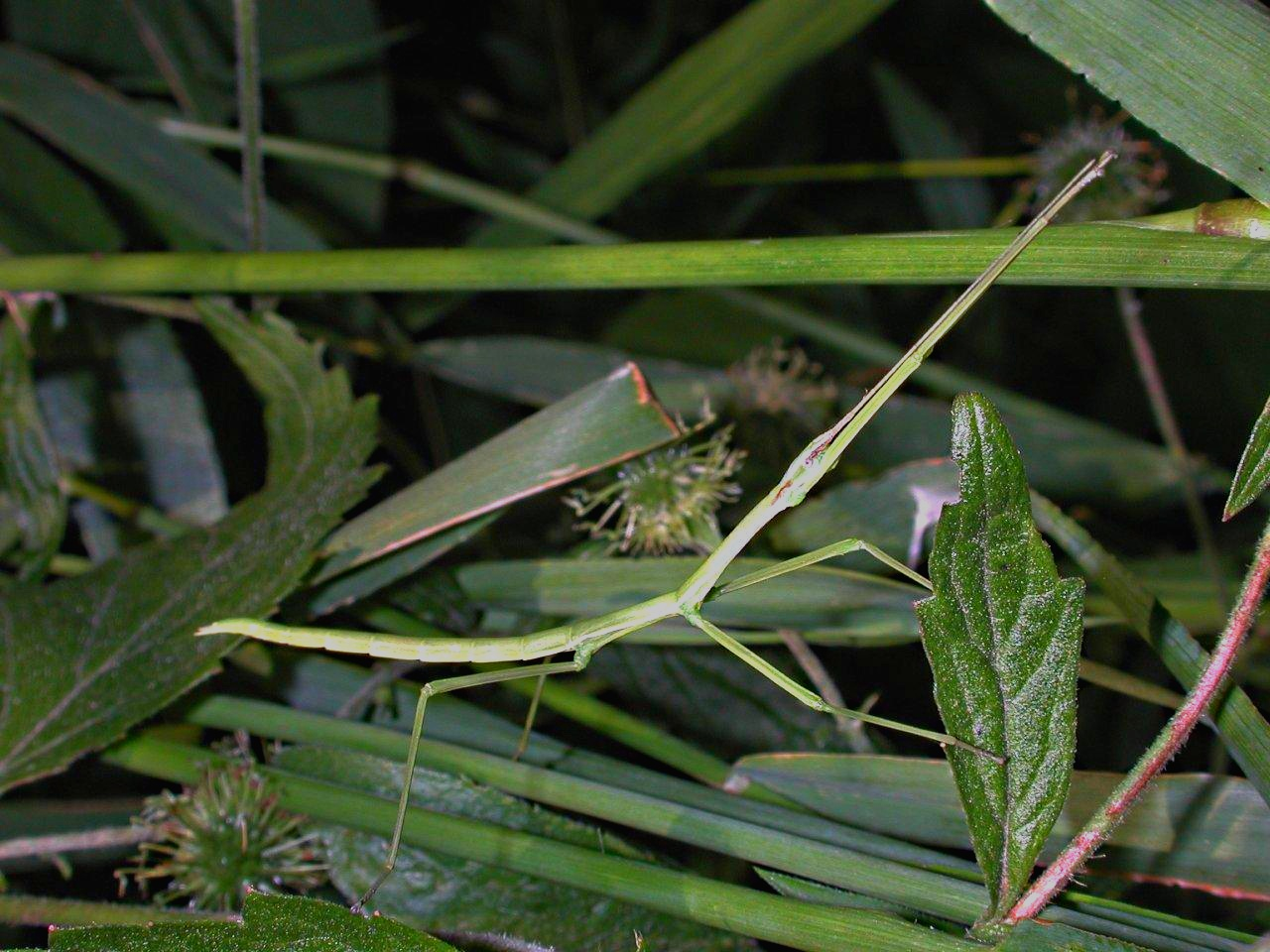 Stick Insect In Woods (1) by Thomas Peace 2013