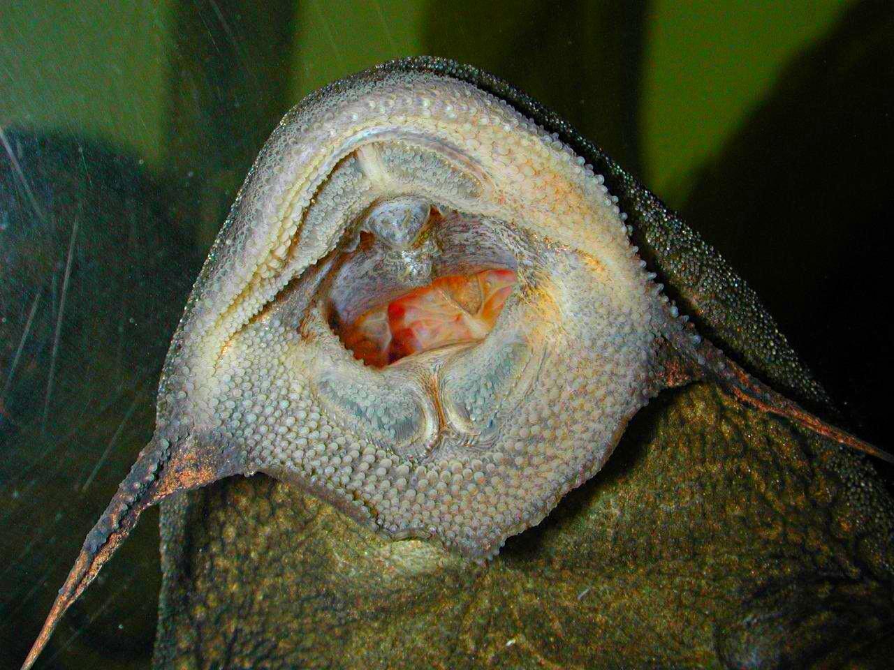 Pet Plecostomus Catfish (1) by Thomas Peace 2013