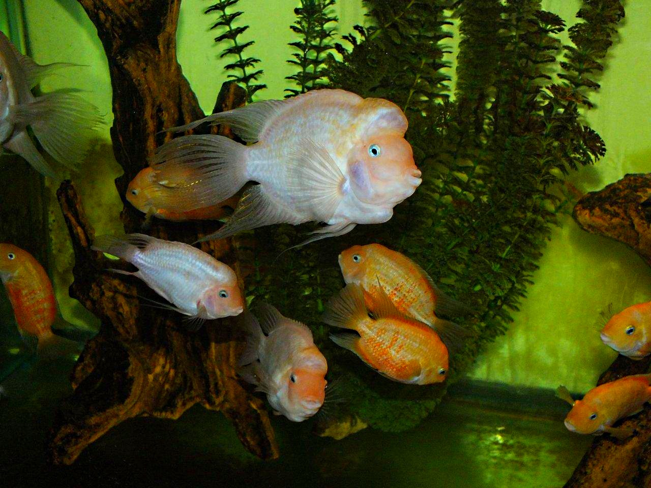 Pink Convict Cichlids (1) by Thomas Peace 2013
