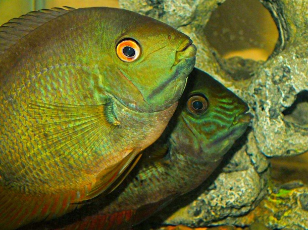 Very friendly Turquoise Severums in one of our tanks... by Thomas Peace 2013