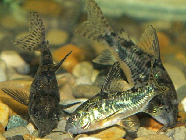 Adult Peppered Catfish... by Thomas Peace 2013