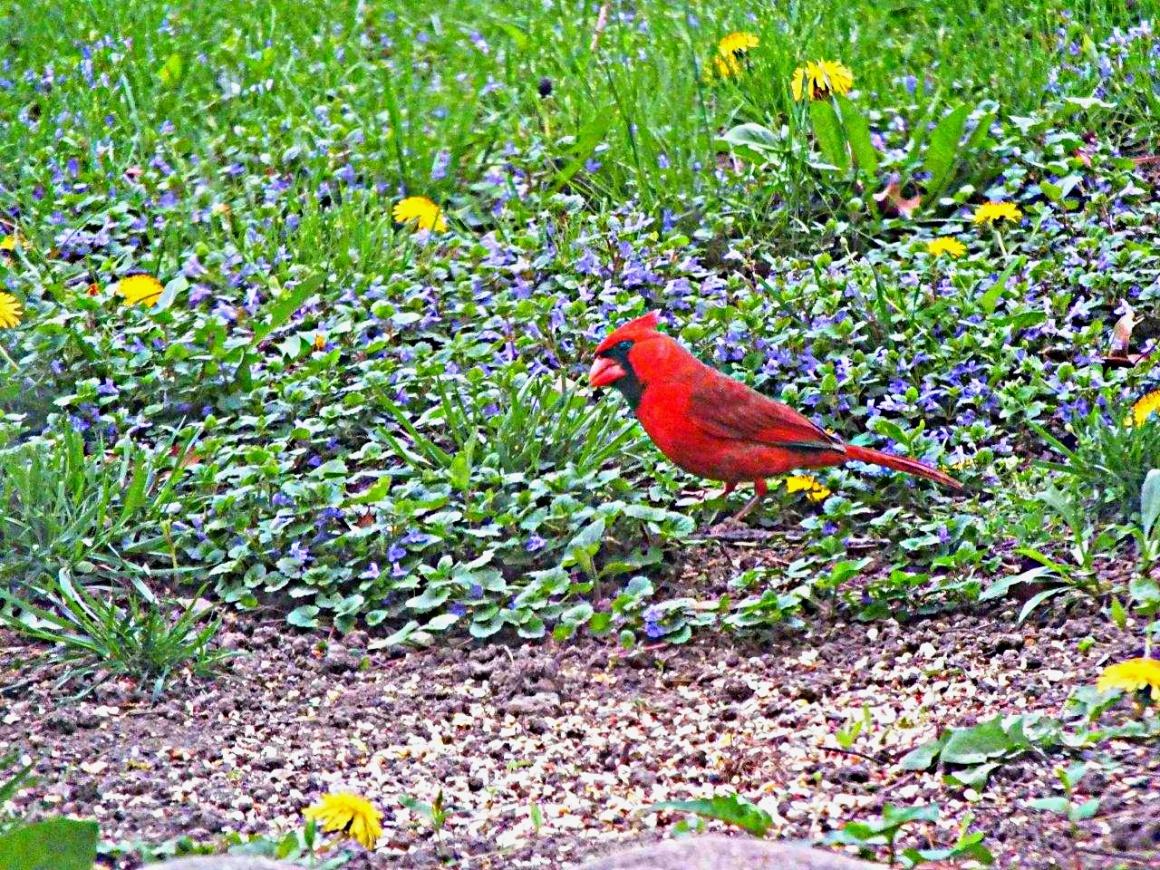 Red Cardinal... by Thomas Peace 2013