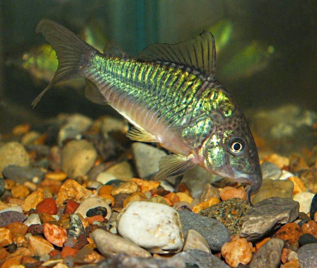 Emerald Catfish (1) by Thomas Peace 2013