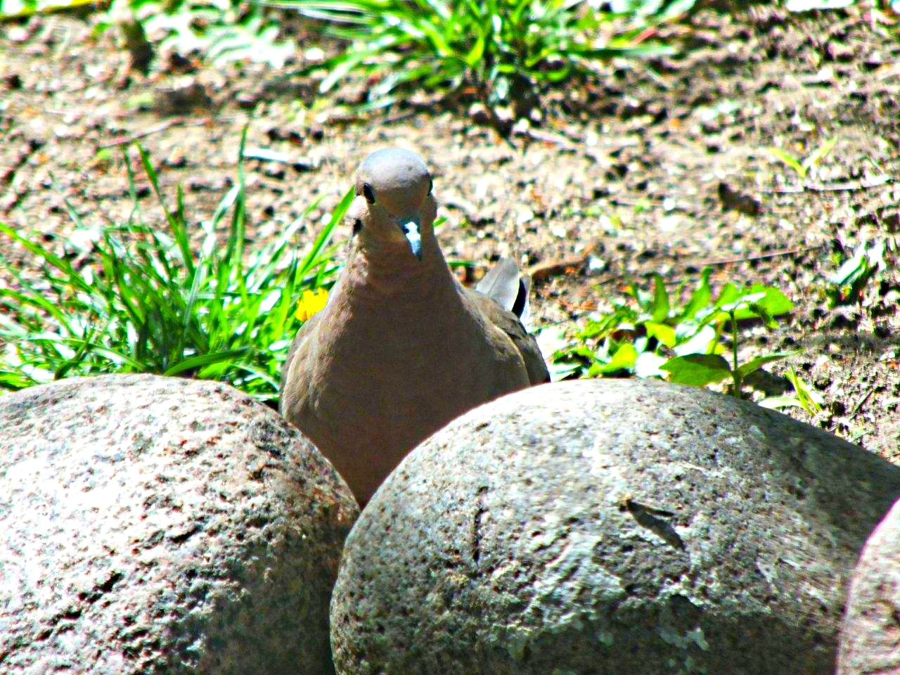 """Morning Dove Quote:  """"Either I shrank, or my eggs just got a whole lot larger!""""... by Thomas Peace 2013"""