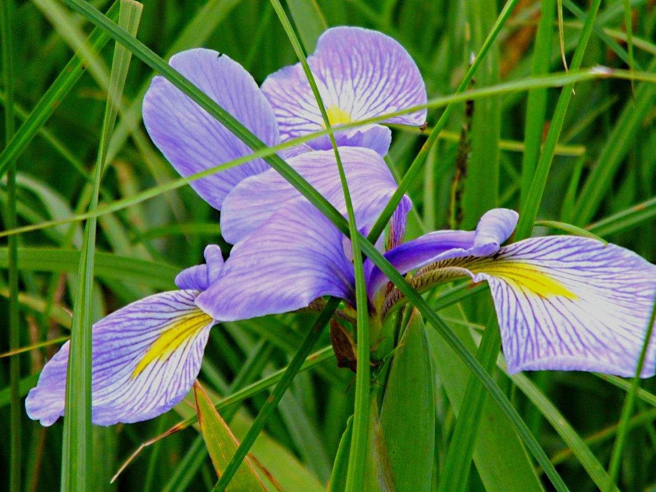 Wild Iris Rarity... by Thomas Peace 2013