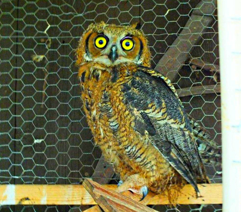 Wise Old Owl (in rehab. facility)... by Thomas Peace 2013