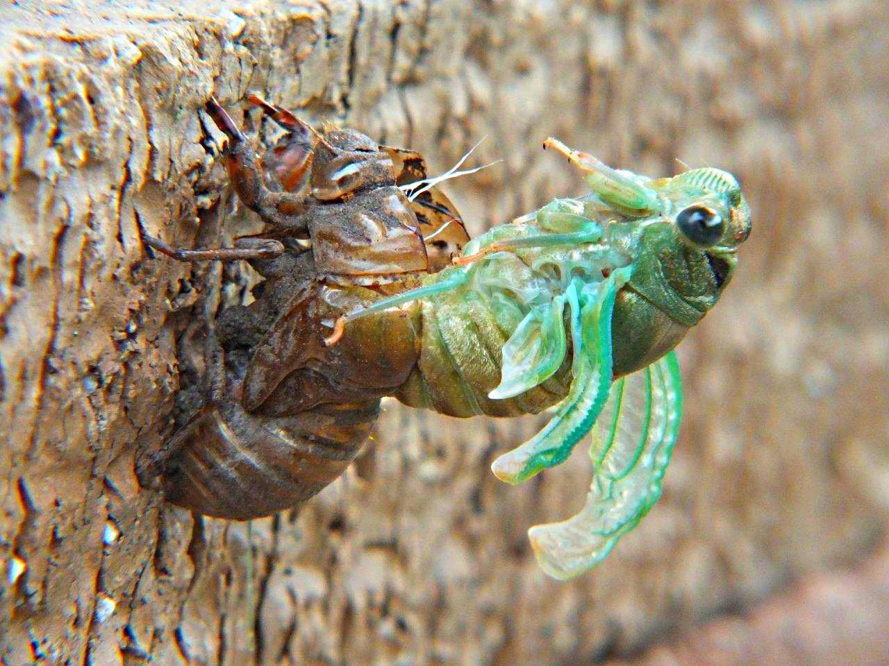 Cicada Emerging (3)... by Thomas Peace 2013