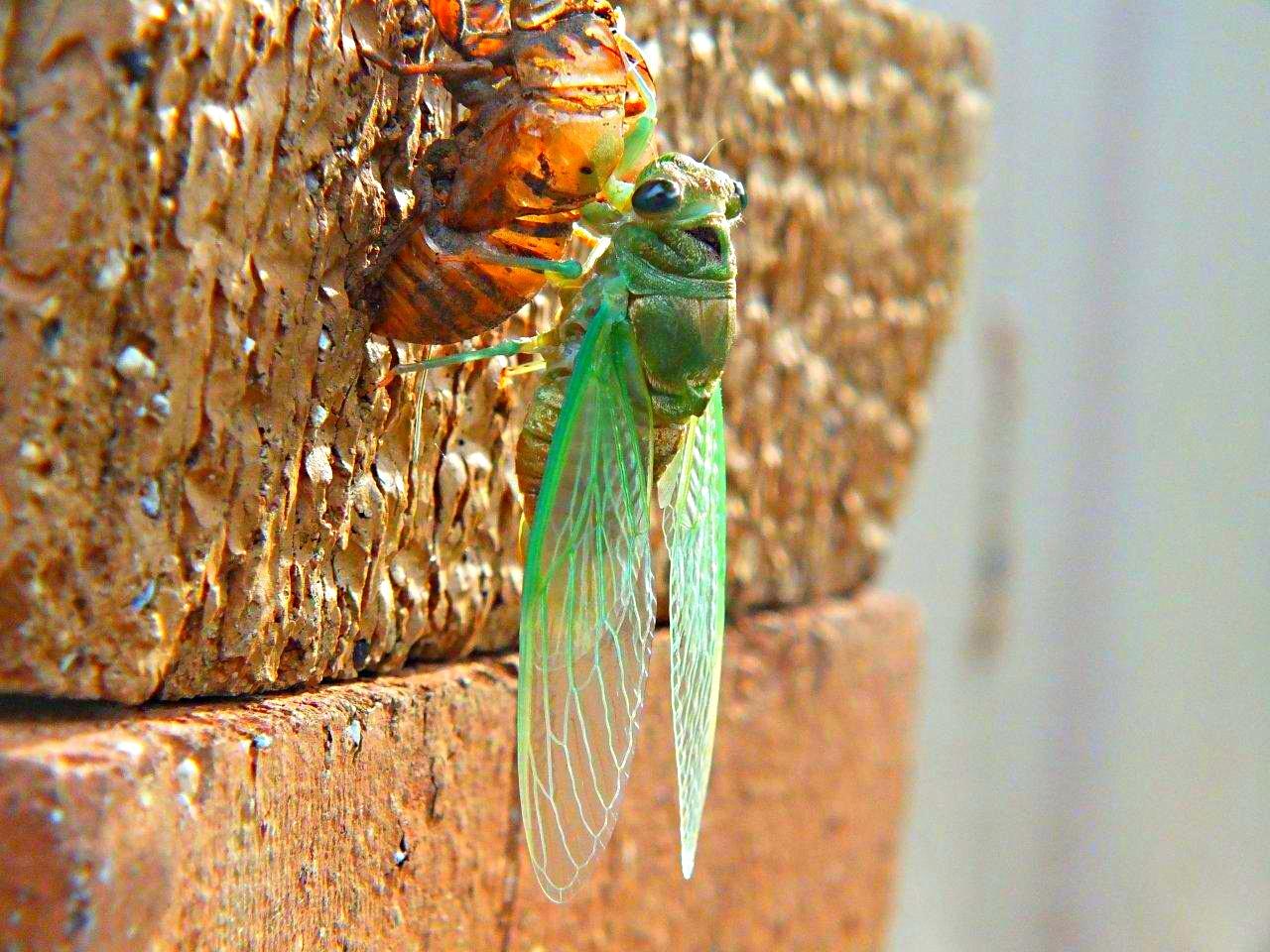 Cicada Emerged... by Thomas Peace 2013