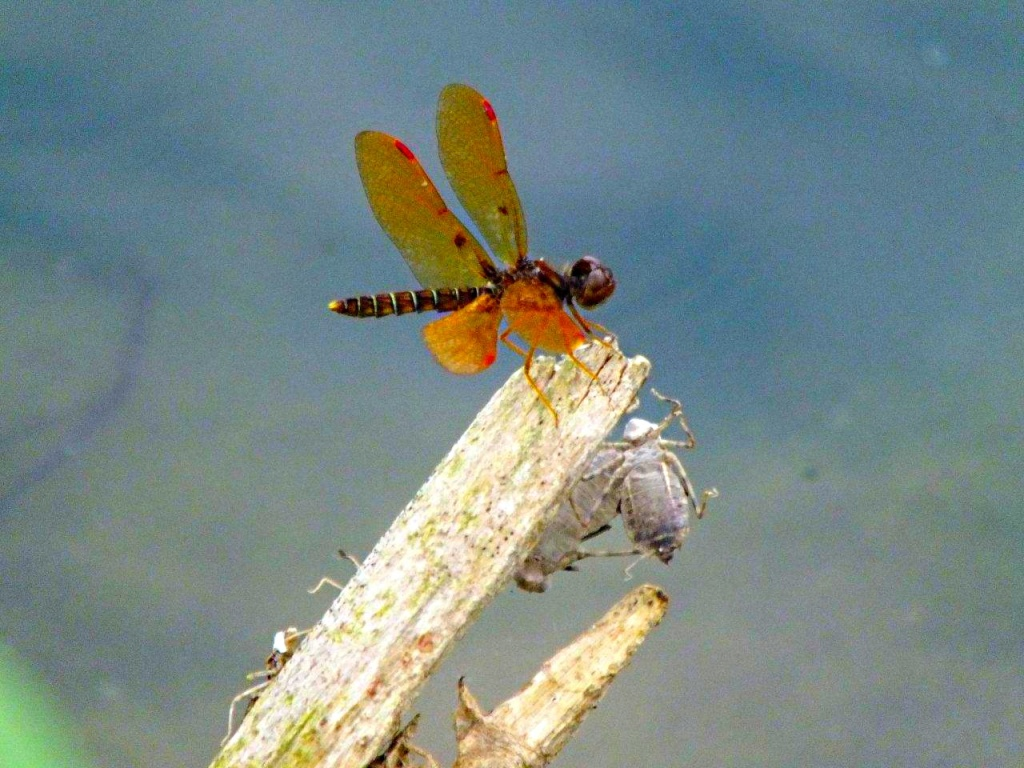 Dragonfly resting (with Exoskeleton Friends)... by Thomas Peace 2013