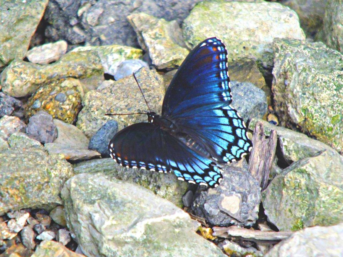 Radiant Butterfly (a Red-Spotted Purple)...Be a jewel among the plain stones... by Thomas Peace 2013