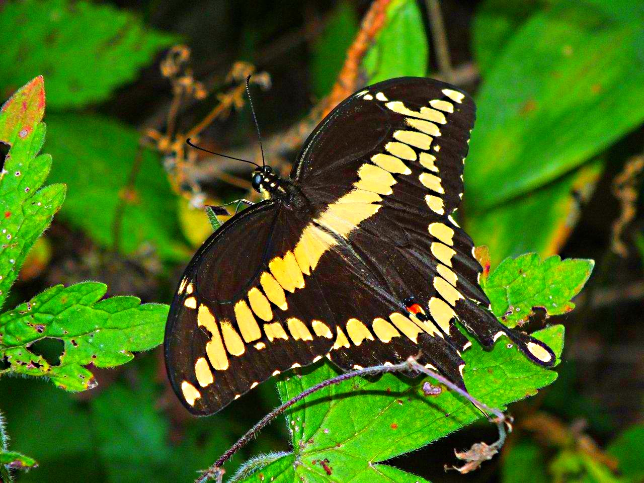 Giant Swallowtail without effort... by Thomas Peace 2013