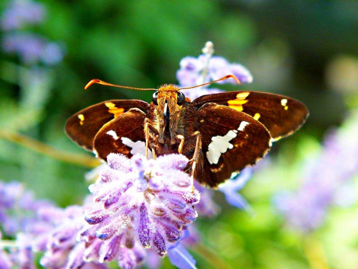 Silver-Spotted Skipper Butterfly... by Thomas Peace 2013