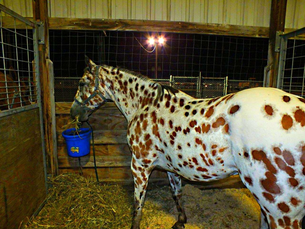 Appaloosa beauty... by Thomas Peace 2013
