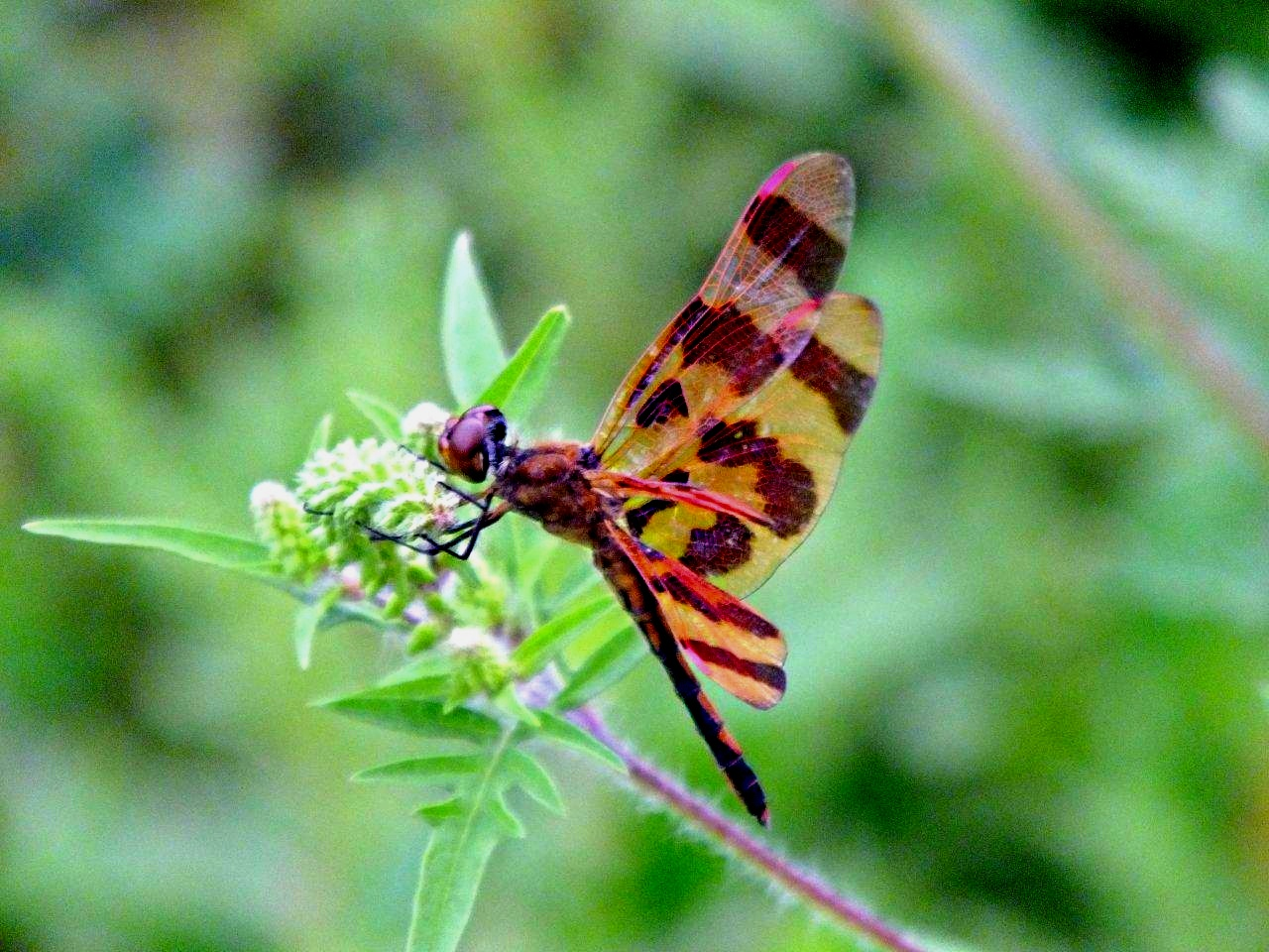 Halloween Pennant Dragonfly... by Thomas Peace 2013