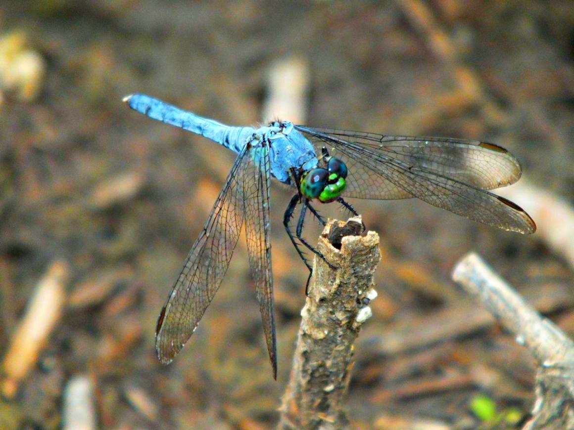 Over the Candlestick... Blue Dasher Dragonfly ... by Thomas Peace 2013