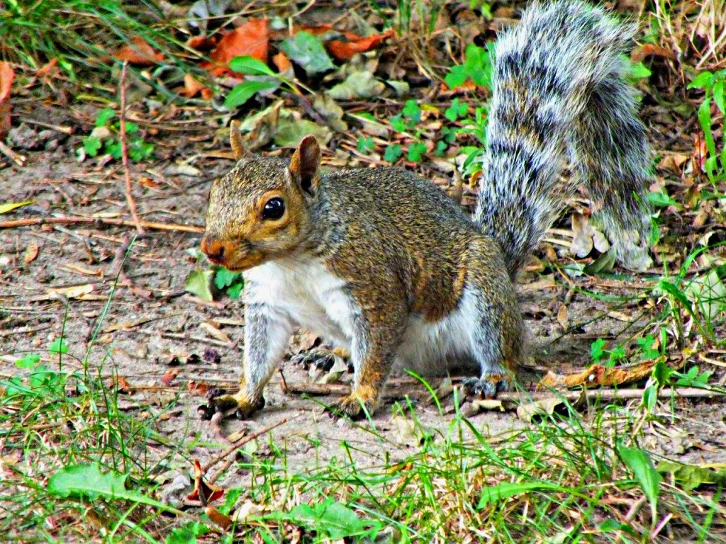 Raccoon impersonator... Gray Squirrel... by Thomas Peace 2013