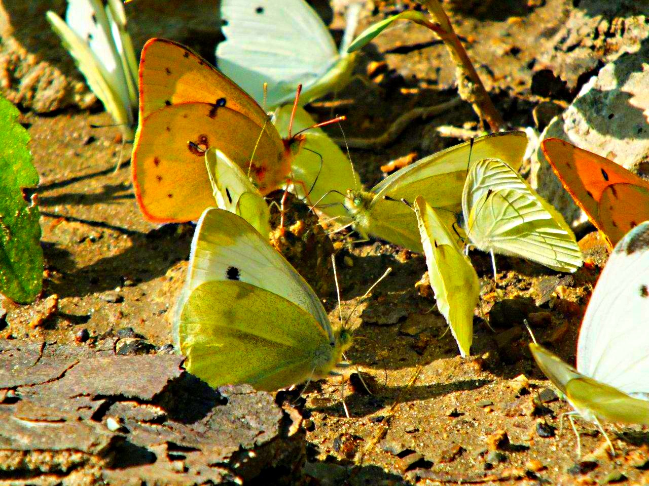 Annual Meeting of the Sulphur Butterflies (2) ... by Thomas Peace 2013