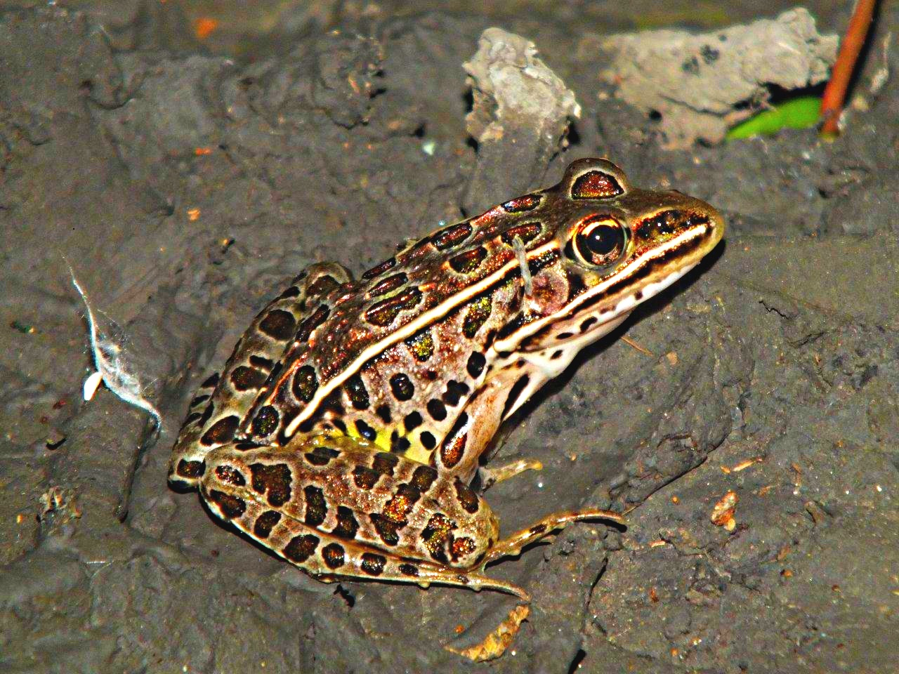 Jumping Jehoshaphat... Leopard Frog ... by Thomas Peace 2013