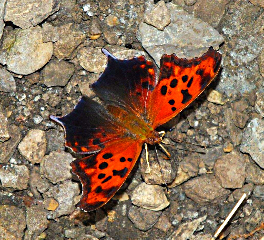 ? Question Mark Butterfly ? ... By Thomas Peace 2013