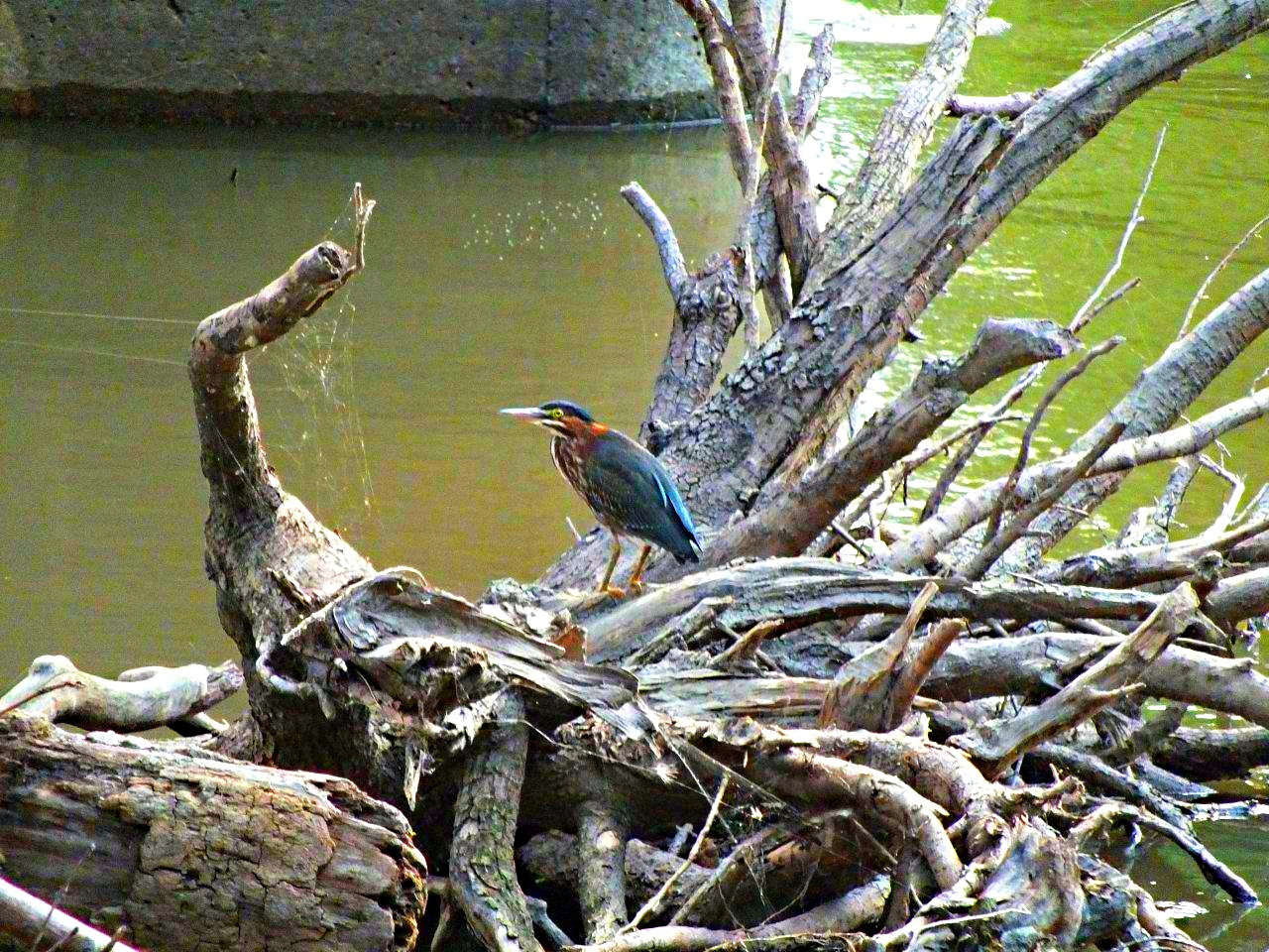 Elusive 4 Sure... Green Heron ... by Thomas Peace 2013