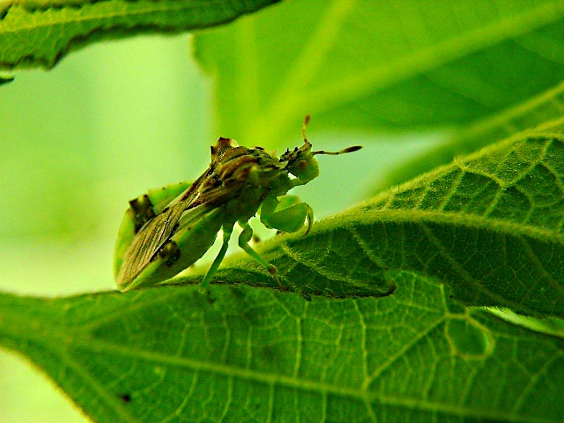Patiently waiting for the next crawling meal... Ambush Bug ... Assassin Bug ... by Thomas Peace 2013