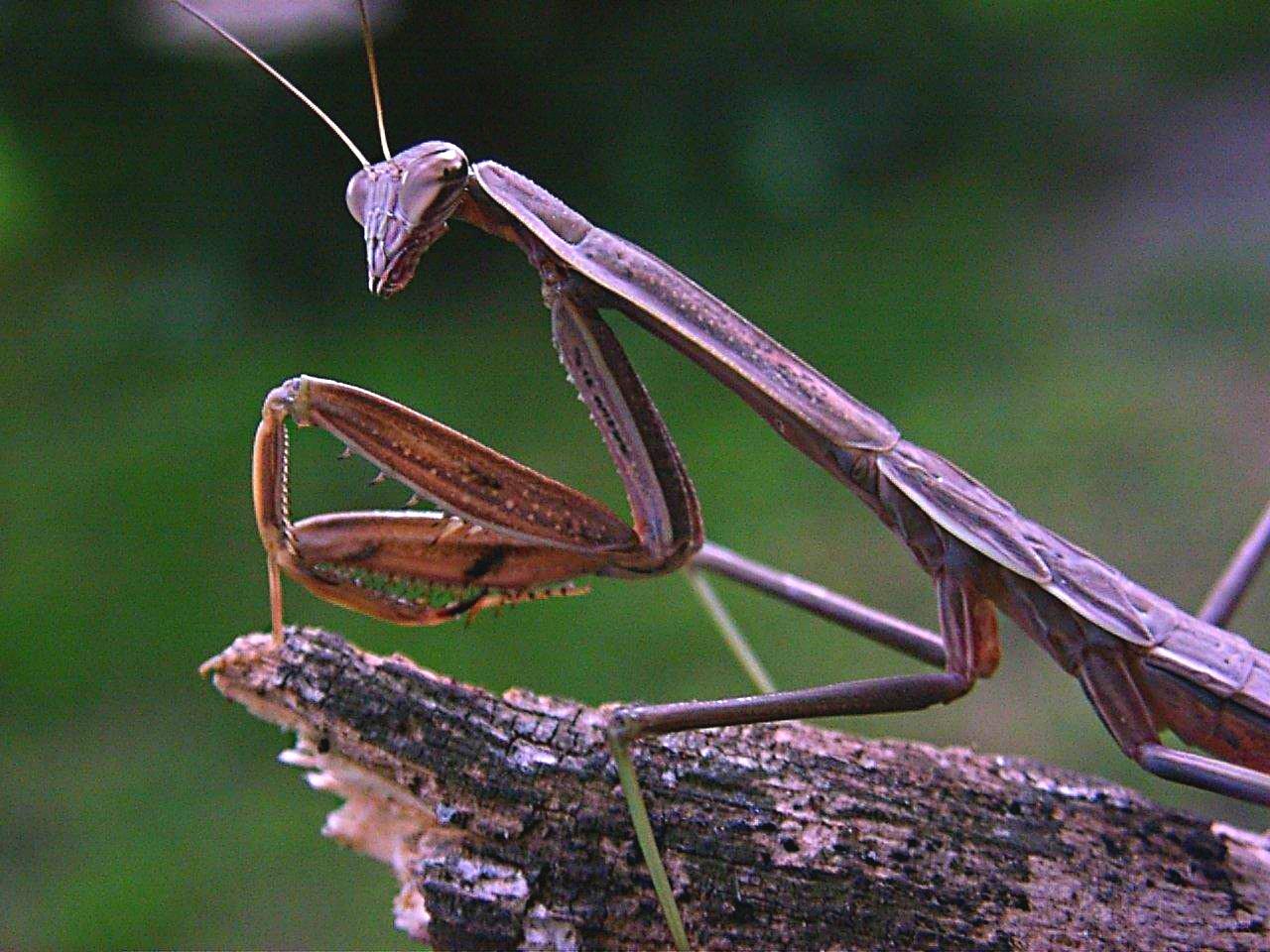 Praying Mantis (at the edge of life... literally) ... by Thomas Peace 2013