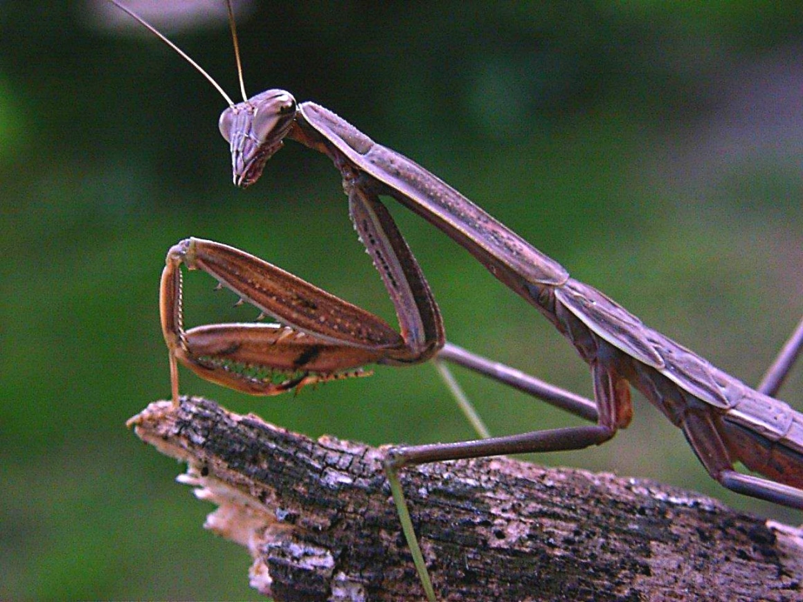 Praying Mantis (at the edge of life... literally) ... by Thomas Peace 2013