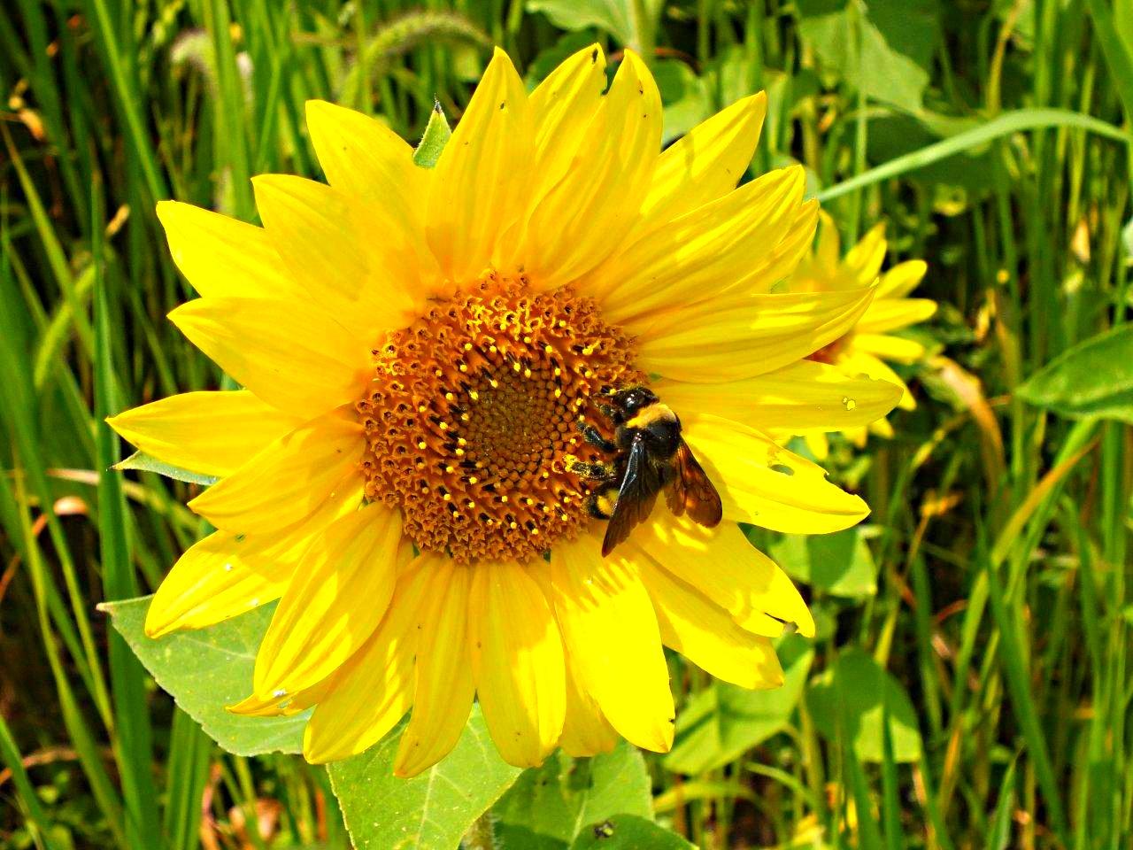 The Bumble bee that isn't bumbling awkward at season's end ... by Thomas Peace 2013