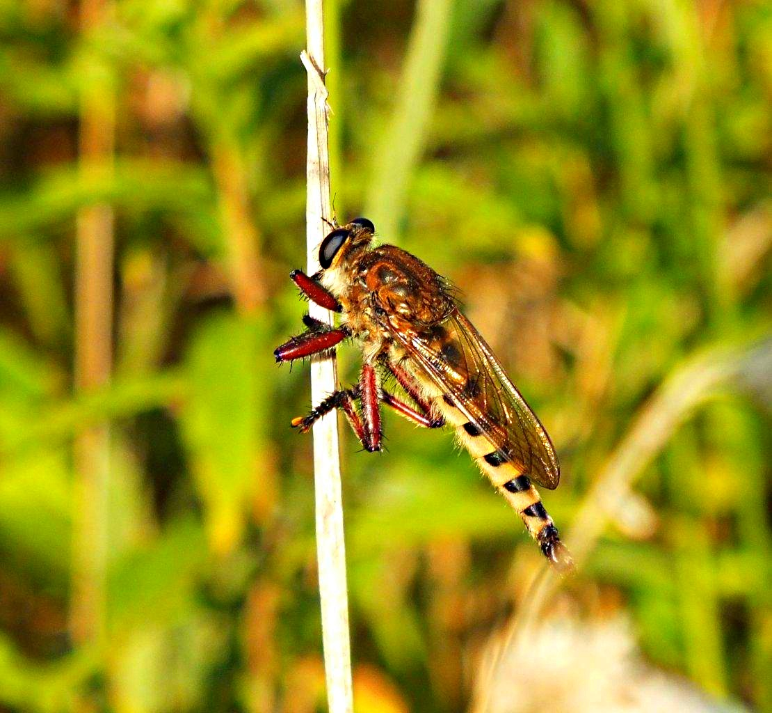 From Sherwood Forest... Robber Fly ... by Thomas Peace 2013