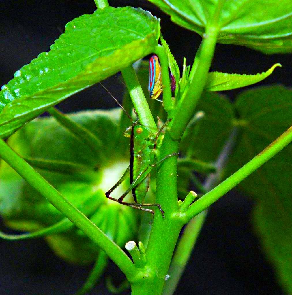 Getting together... Gladiator Katydid and a Scarlet-and-Green Leafhopper ... by Thomas Peace 2013