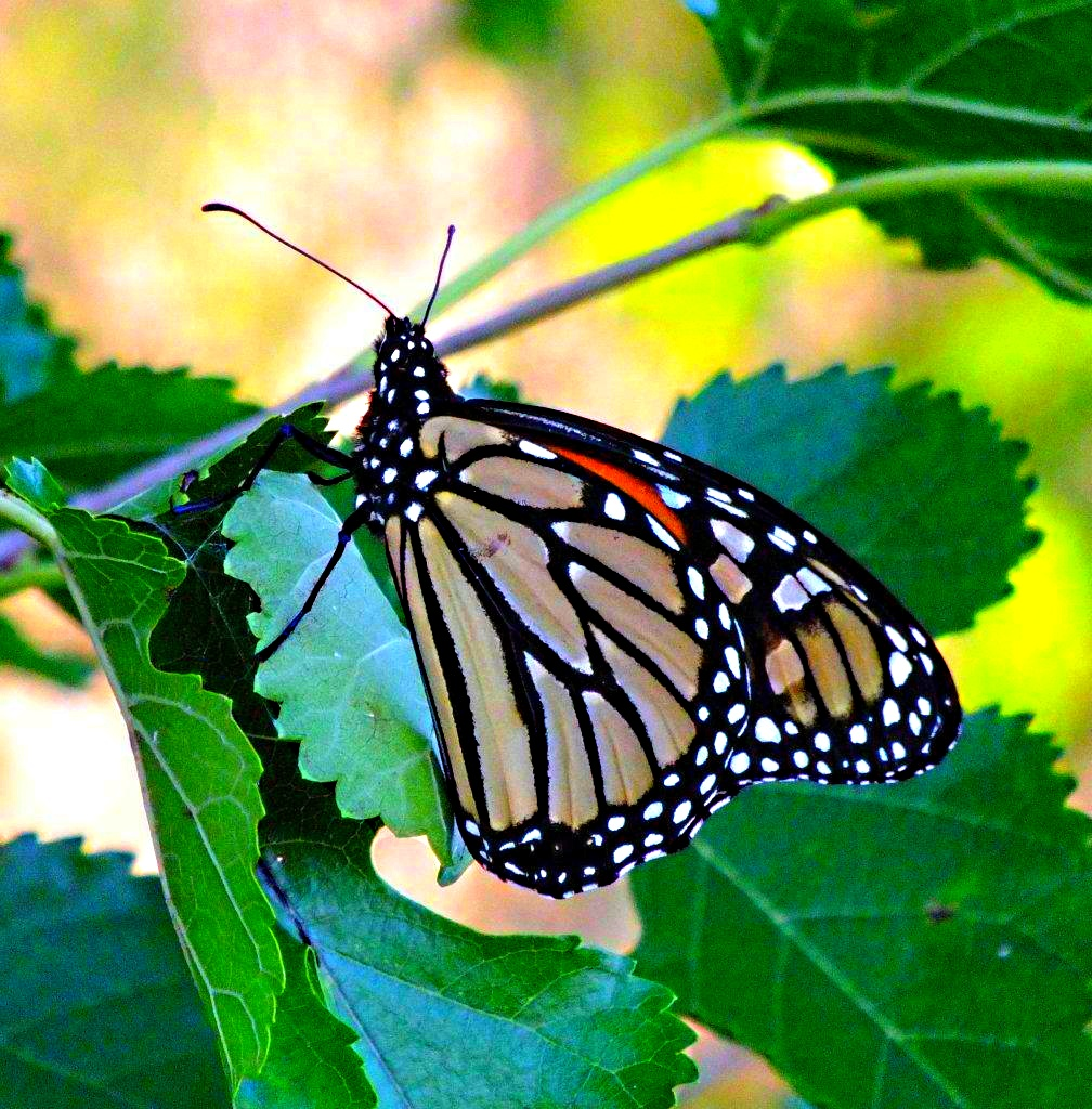 Monarch Butterfly at her home-tree ... by Thomas Peace 2013