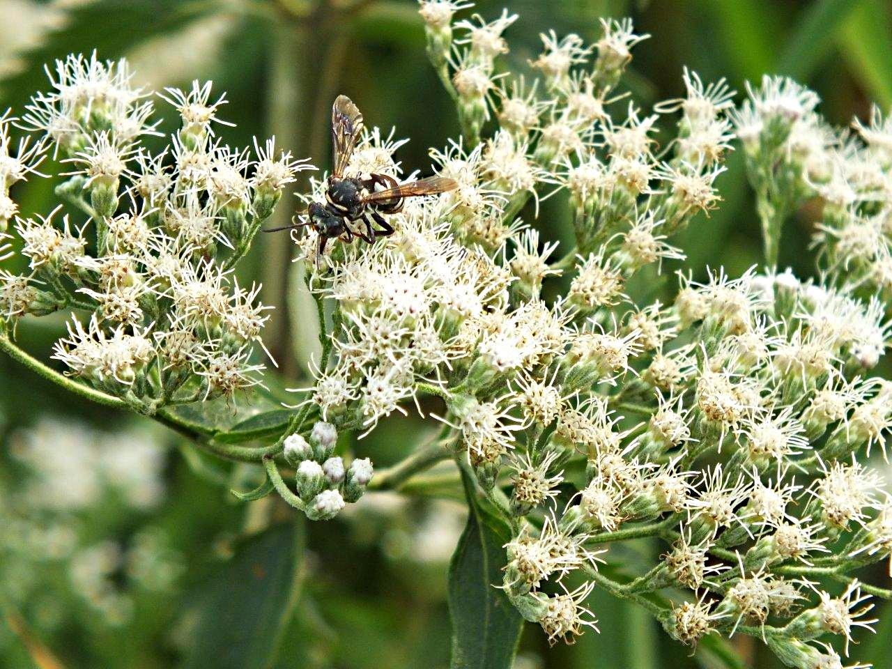 Endless manna... Nectar seeking wasp ... by Thomas Peace 2013