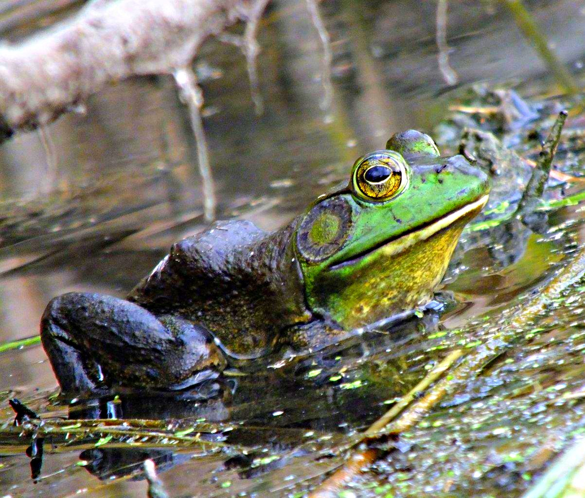 Bullfrog chillin' .... with a little bug by his nostrils...  by Thomas Peace 2013