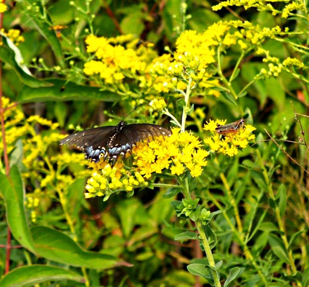 Meeting for lunch... Elderly Black Swallowtail and Grasshopper... by Thomas Peace 2013