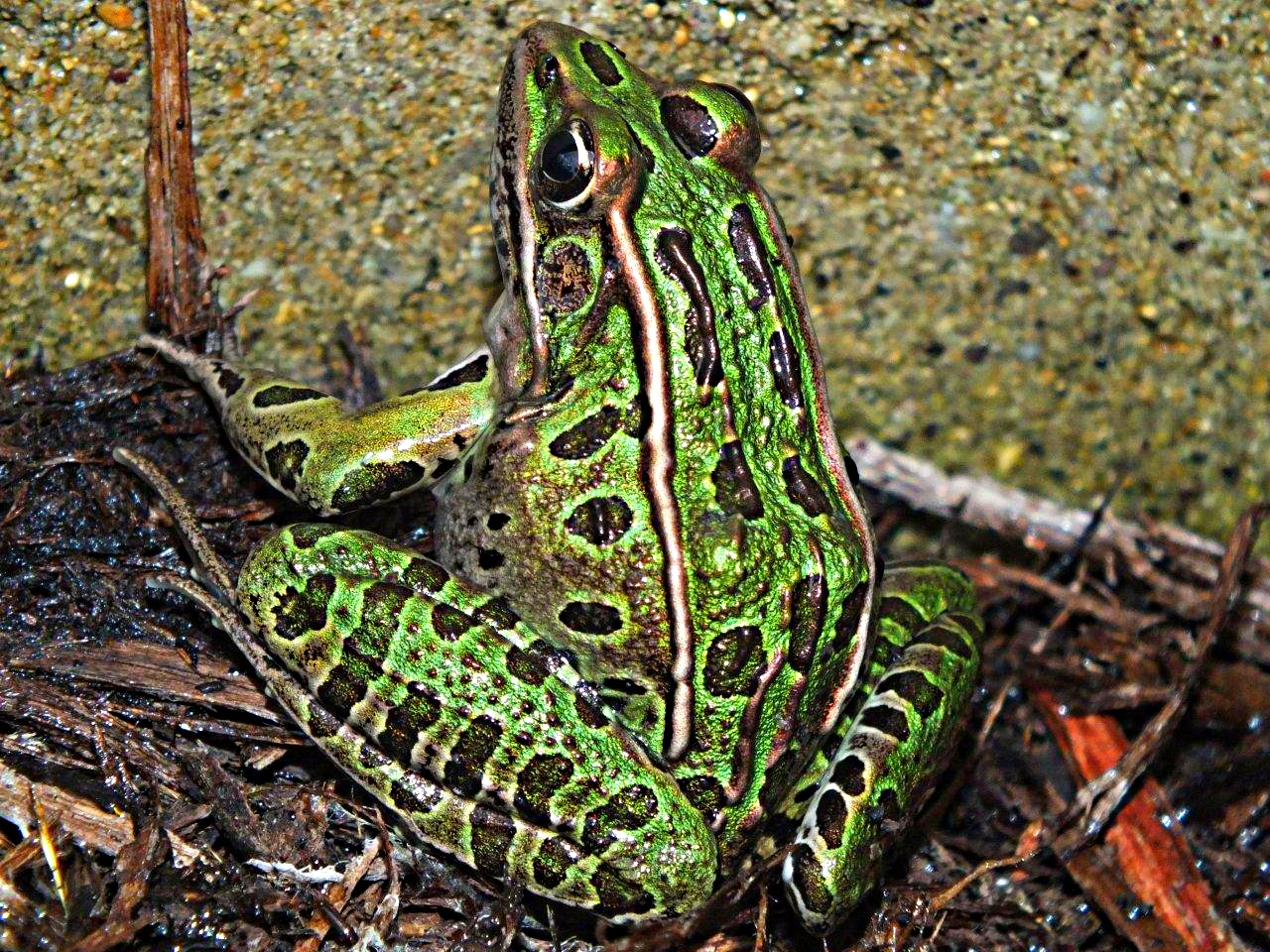 De-flying our garden... Green Leopard Frog ... by Thomas Peace 2013