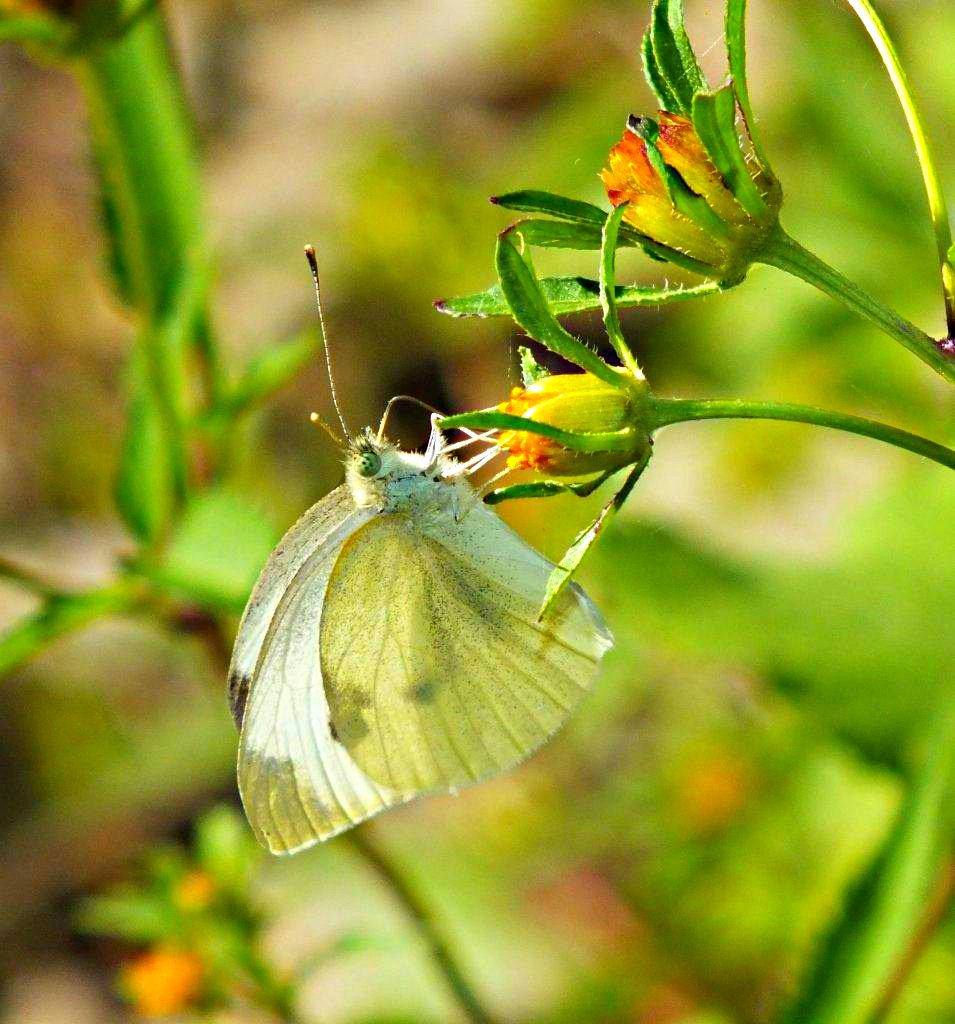 Just Hangin' .... Cabbage White Butterfly ... by Thomas Peace 2013