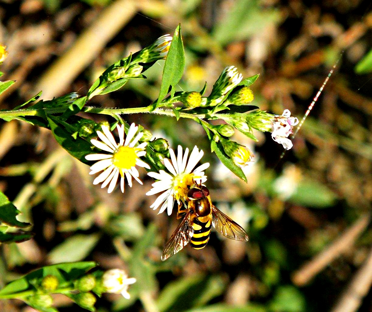 I'm often mistaken for being a bee! :  Hover Fly ... Drone Fly ... by Thomas Peace 2013
